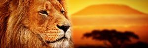 Lion Portrait on Savanna Landscape Background and Mount Kilimanjaro at Sunset. Panoramic Version by Michal Bednarek