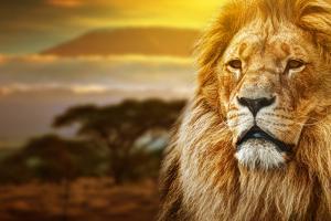 Lion Portrait On Savanna Landscape Background And Mount Kilimanjaro At Sunset by Michal Bednarek