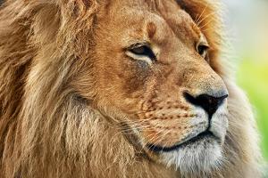 Lion Portrait on Savanna, Safari. Big Adult Lion with Rich Mane. by Michal Bednarek