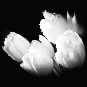 Water Droplets on White Tulips by Michal Bednarek