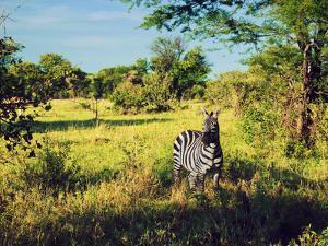 Zebra in Grass on Savanna, Africa. Safari in Serengeti, Tanzania by Michal Bednarek