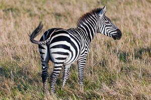 Zebra on Savanna, Africa. Safari in Serengeti, Tanzania by Michal Bednarek