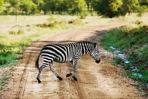 Zebra on Savanna Crossing the Road, Africa. Safari in Serengeti, Tanzania by Michal Bednarek