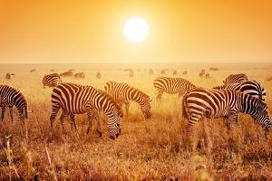 Zebras Herd on Savanna at Sunset, Africa. Safari in Serengeti, Tanzania by Michal Bednarek