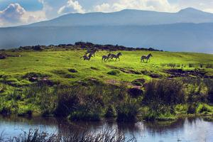 Zebras on Green Grassy Hill. Ngorongoro Crater, Tanzania, Africa by Michal Bednarek
