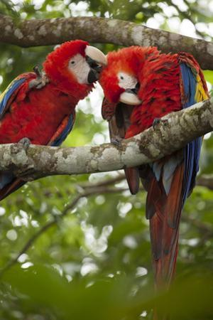 Scarlet Macaw (Ara Macao) Wild, Chiapas State, Mexico by Michel Benoy Westmorland