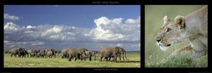 Elephants and Lioness by Michel & Christine Denis-Huot