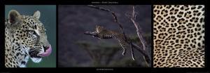 Leopard Resting by Michel & Christine Denis-Huot