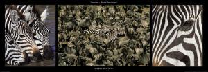 Zebras Migration by Michel & Christine Denis-Huot