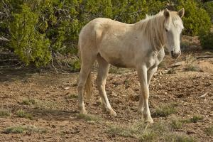 American Indian pony, Canyon de Chelly, Chinle, Arizona, USA by Michel Hersen