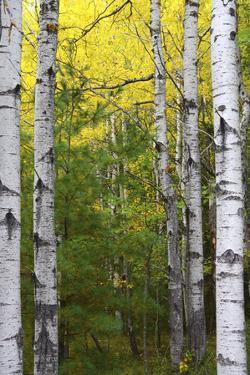 Autumn Birches, Sieur De Monts Spring, Acadia National Park, Maine, Usa by Michel Hersen