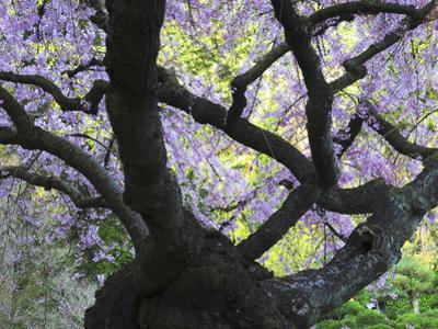 Cherry Tree in Bloom, Portland Japanese Garden, Portland, Oregon, USA