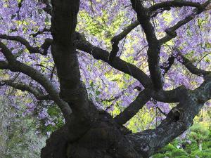 Cherry Tree in Bloom, Portland Japanese Garden, Portland, Oregon, USA by Michel Hersen