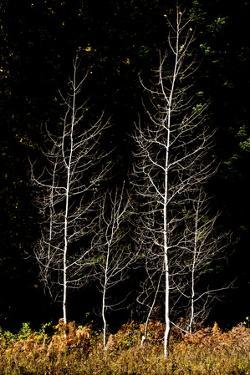 Denuded aspens, White River Area, Wenatchee National Forest, WA. by Michel Hersen