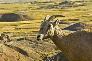 Female Bighorn Sheep, Badlands National Park, South Dakota, Usa by Michel Hersen