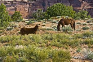 Indian ponies, free range, Canyon de Chelly, National Monument, Chinle, USA by Michel Hersen