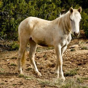 Indian pony, free range, Canyon de Chelly, National Monument, Chinle, USA by Michel Hersen