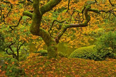 Japanese maple in Autumn, Portland, USA