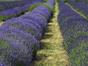 Lavender Farm, Sequim, Washington, USA by Michel Hersen