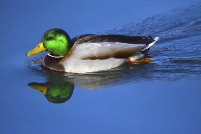 Male Mallard, Reflection, Commonwealth Lake Park, Beaverton, Oregon