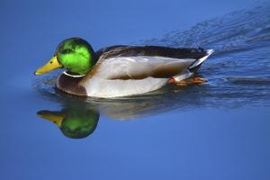 Male Mallard, Reflection, Commonwealth Lake Park, Beaverton, Oregon by Michel Hersen
