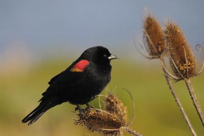 Male Red-Winged Blackbird, Ridgefield NWR, Ridgefield, Washington, USA