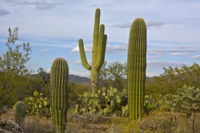 Saguaro and Prickly Pear, Rincon District, Saguaro NP, Arizona, Usa
