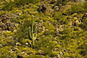 Saguaro, desert landscape, Tender Hills Park, Arizona, USA by Michel Hersen