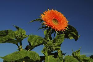 Sunflower Portrait, Sunflower Festival, Hood River, Oregon, USA by Michel Hersen