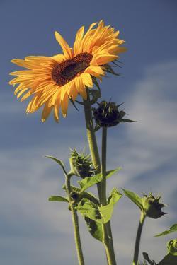 Sunflowers, Hood River, Oregon, USA by Michel Hersen