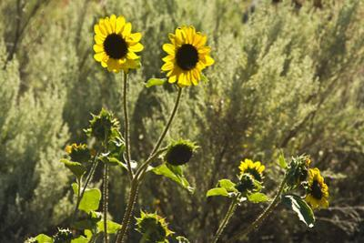 Sunflowers, Painted Hills, Mitchell, Oregon, USA by Michel Hersen