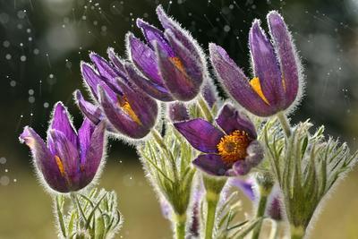 Pasque Flowers (Pulsatilla Vulgaris) in Rain, Lorraine, France, April