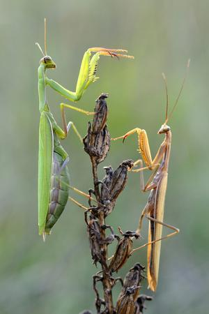 Praying Mantis (Mantis Religiosa) Pair On Plant Facing Each Other, Lorraine, France, September