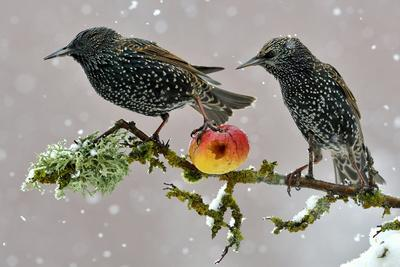 Starlings (Sturnus Vulgaris), Adults Perched on Branch in Winter Feeding on Apple