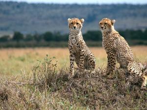 Cheetah Cubs, Masai Mara, Kenya by Michele Burgess