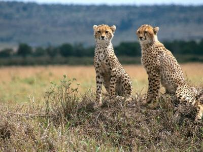 Cheetah Cubs, Masai Mara, Kenya by Michele Burgess
