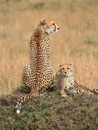 Cheetah & Cubs, Termite Mound, Masai Mara, Keny by Michele Burgess