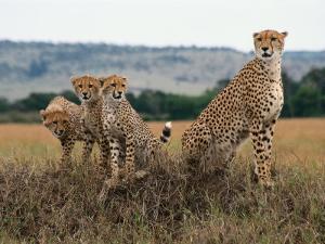Cheetah & Cubs, Termite Mound, Masai Mara, Keny by Michele Burgess