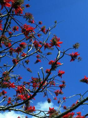 Close-up of Flame Tree with Sky by Michele Burgess