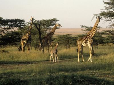 Giraffes, Masai Mara National Park, Kenya by Michele Burgess