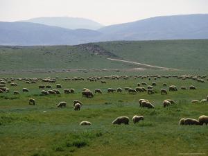 Grazing Sheep Near Lancaster, PA by Michele Burgess