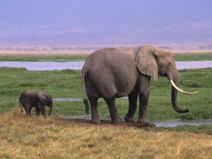 Kenya, Amboseli National Park, Elephant with Offspring by Michele Burgess
