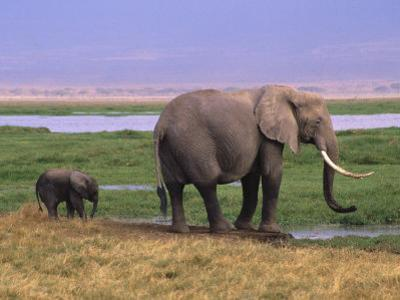 Kenya, Amboseli National Park, Elephant with Offspring by Michele Burgess