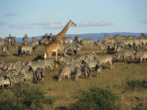Kenya, Masia Giraffe and Herd of Zebra by Michele Burgess