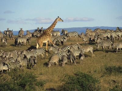 Kenya, Masia Giraffe and Herd of Zebra by Michele Burgess