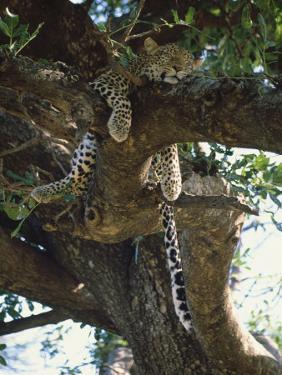 Kenya, Samburu Game Reserve, Leopard by Michele Burgess