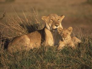 Lioness and Cub, Masai Mara Reserve, Kenya by Michele Burgess