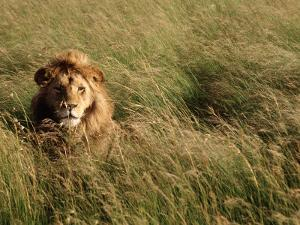 Male Lion Hiding, Masai Mara National Park, Kenya by Michele Burgess