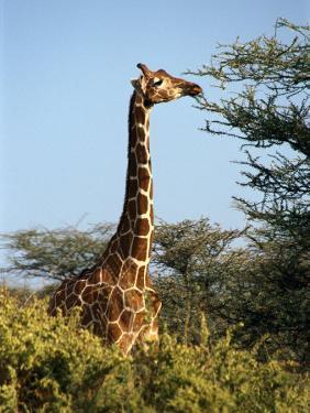 Reticulated Giraffe Eating Acacia, Samburu, Kenya by Michele Burgess
