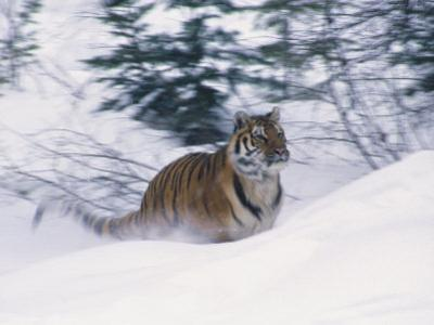 Siberian Tiger in Snow by Michele Burgess